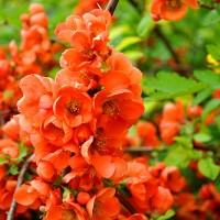 Хеномелес японський (Айва японська), насіння, 30 шт