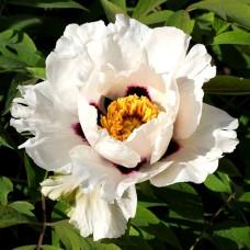 Півонія деревовидна біла, насіння, 20 шт