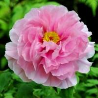 Півонія деревовидна рожева, насіння, 20 шт