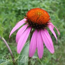 Ехінацея пурпурова, насіння