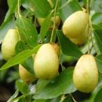 Екзотичні плодові дерева