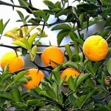 Понцирус трилистий (Лимон японський трилистий)