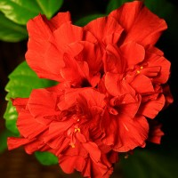 Гібіскус китайський червоний (Китайська троянда)