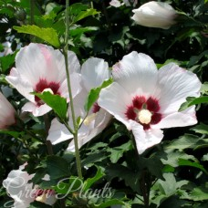 Гібіскус сірійський білий