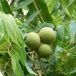 Саджанці горіхоплідних
