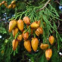 Калоцедрус (Річковий кедр каліфорнійський, Лібоцедрус, Calocedrus decurrens)