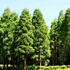 Криптомерія японська (Японський кедр), насіння, 40 шт
