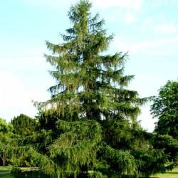 Модрина європейська, насіння, 40 шт