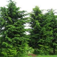 Псевдотсуга Мензіса ф. зелена, насіння, 40 шт