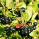 Аронія чорноплідна, насіння, 20 шт