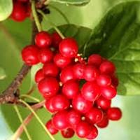 Лимонник китайський (Schizandra chinensis)