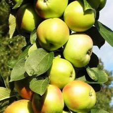 """Яблуня колоновидна """"Болеро"""""""