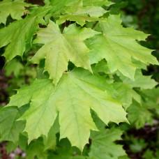 Клен гостролистий (Клен платанолистий, Acer platanoides)