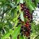 Черемуха пізня (Американська вишня), насіння, 10 шт