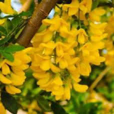 Карагана дерев'яниста (Акація жовта), насіння, 40 шт