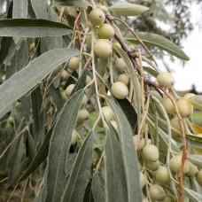 Маслинка вузьколиста (Лох вузьколистий), насіння, 40 шт