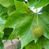 Платан кленолистий (Платан гібридний), насіння, 40 шт