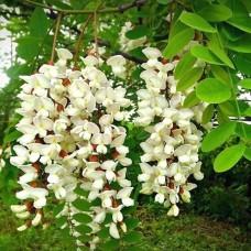 Робінія звичайна (Робінія псевдоакація), насіння, 40 шт