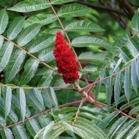 Сумах оленерогий (Оцтове дерево), насіння, 30 шт