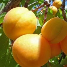 Персик Донецький Жовтий