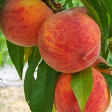 Персик Інка