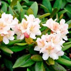Рододендрон короткоплідний (Рододендрон Форі, Рододендрон рожевий)