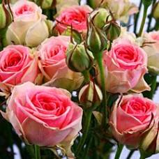 """Бордюрна троянда """"Мімі Едем"""""""
