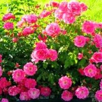 Бордюрні троянди