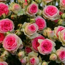 "Плетюча троянда ""Еден Роуз"""