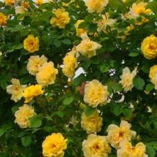 """Плетюча троянда """"Голден Гейт"""""""