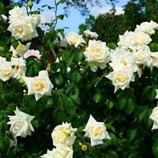 "Плетюча троянда ""Ільзе Кроун"""