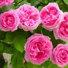 "Плетюча троянда ""Клімбер"""