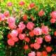 Плетючі троянди