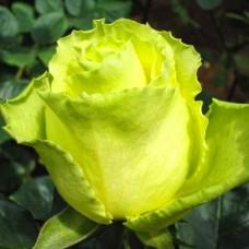 """Троянда """"Лімбо"""""""