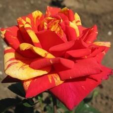 "Троянда ""Пападжено"""