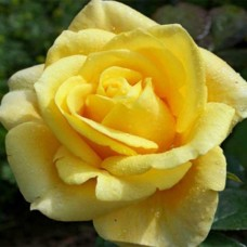 """Троянда """"Папіллон"""""""