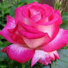 """Троянда """"Розгожар"""""""