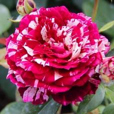 """Троянда """"Сантіні"""""""