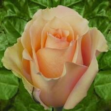 """Троянда """"Версілія"""""""