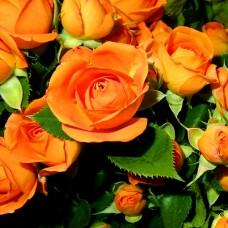 """Спрей троянда """"Бебі"""""""