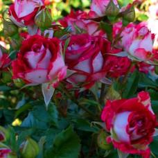 """Спрей троянда """"Черрі Фолнес"""""""