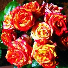 """Спрей троянда """"Фаєр Флеш"""""""