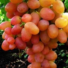 """Виноград """"Лівія"""""""