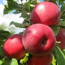 """Яблуня """"Моді"""""""