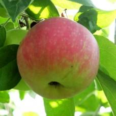 "Яблуня ""Ерлі Женева"""